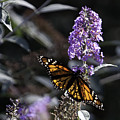 Monarch In Backlighting by Rob Travis