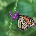 Monarch In The Garden by Kim Hojnacki