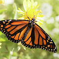 Monarch In The Light by Ana V Ramirez