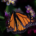 Monarch by Jay Stockhaus