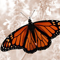 Monarch by Jeannie Burleson