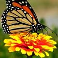 Monarch by Jeff Breiman