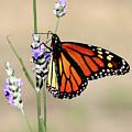 Monarch by Matalyn Gardner