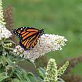 Monarch On A Butterfly Bush by Dylan Brett
