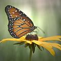 Monarch On A Black Eyed Susan by Yuri Lev