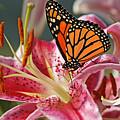 Monarch On A Stargazer Lily by Cindi Ressler