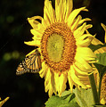 Monarch On A Sunflower by Charlie Choc