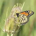 Monarch On A Thistle  by Dennis Hammer