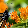 Monarch On Asclepias by Betsy LaMere