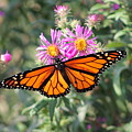 Monarch On Blanket Flower by Wayne Williams