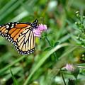 Monarch On Clover by Edward Sobuta