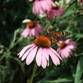 Monarch On Coneflower by Ann-Elizabeth