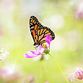 Monarch On Cosmos by Kendra Perry-Koski