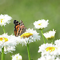 Monarch On Daisies by Barbara Treaster
