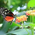 Monarch On Flower by Angela Murdock