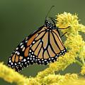Monarch On Goldenrod by Jurgen Lorenzen