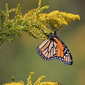 Monarch On Goldenrod by Ronnie Maum