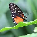 Monarch On Green Leaf by Angela Murdock