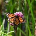 Monarch On Joe Pye by Hella Buchheim