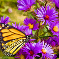 Monarch On Mt. Washington by Ches Black