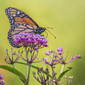 Monarch On Pink Flower by Sue Matsunaga