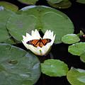 Monarch On Waterlily by George Jones