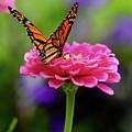 Monarch On Zinnia 3 by Gregory E Dean
