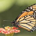 Monarch On Zinnia 4-2015 by Thomas Young