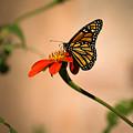 Monarch On Zinnia by Zina Stromberg