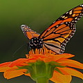 Monarch by Peter Gray