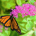Monarch Pretty In Pink by Edward Peterson