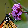 Monarch Purple by Peter Gray