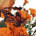Monarch Series 4 by Samantha Burrow
