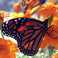 Monarch Series 7 by Samantha Burrow