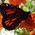 Monarch Series 8 by Samantha Burrow