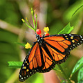 Monarch by Steve and Donna Krumenaker