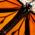 Monarch Triangles by Thomas Morris