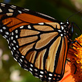 Monarch Up Close by MHmarkhanlon