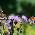 Monarchs And Blazing Star by Kurt Duerksen