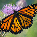 Monarch's Beauty by Rima Biswas