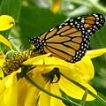 Monarchs Gold by David Dunham