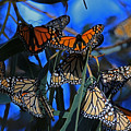 Monarchs In Paradise by Craig Corwin