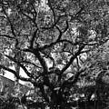 Monastery Tree by Rob Hans