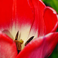 Monet Garden Red Tulip by Kyle Hanson