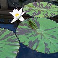 Monet Lilies White  by Eric  Schiabor