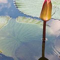 Monet Water Lily Stem Red Orange by Eric  Schiabor