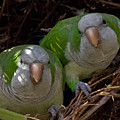 Monk Parakeet Pair by Larry Linton