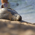 Monk Seal Basking. by Michael Sangiolo
