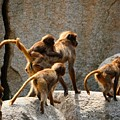 Monkey Family by Dennis Maier