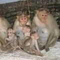 Monkey Family Tiruvannamalai India by Sonya Ki Tomlinson